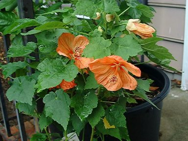 abutilon, flowering
