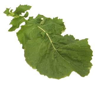Turnip Greens 200 seeds (organic) Free Shipping! USA only