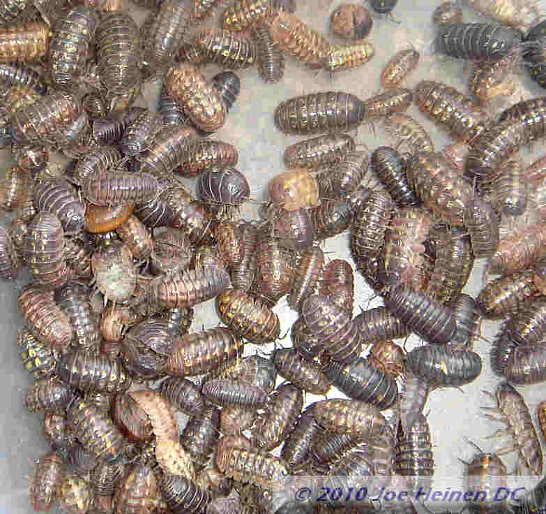 Pill bugs 25 count mixed sizes Free Shipping USA ONLY
